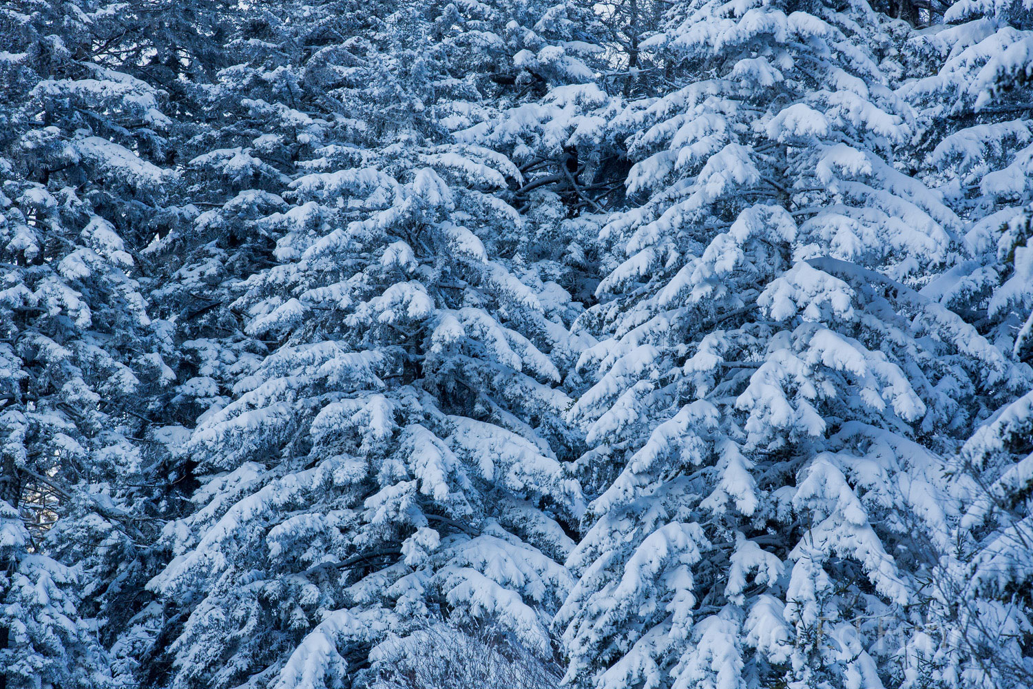 Snow covers the boughs of these evergreens.