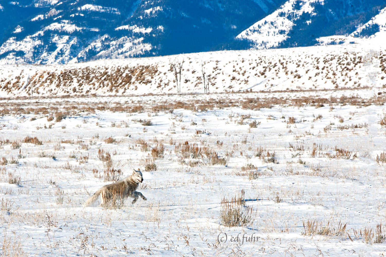 wolf, winter, snow, grand teton national park, photograph, image, wildlife, 2011, Tetons, Grand Teton, photo
