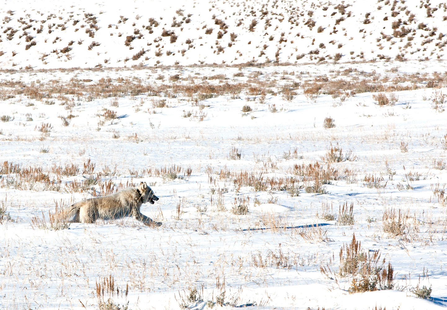 A white wolf sprints across the open meadow and snows toward its pack mates who are headed home.