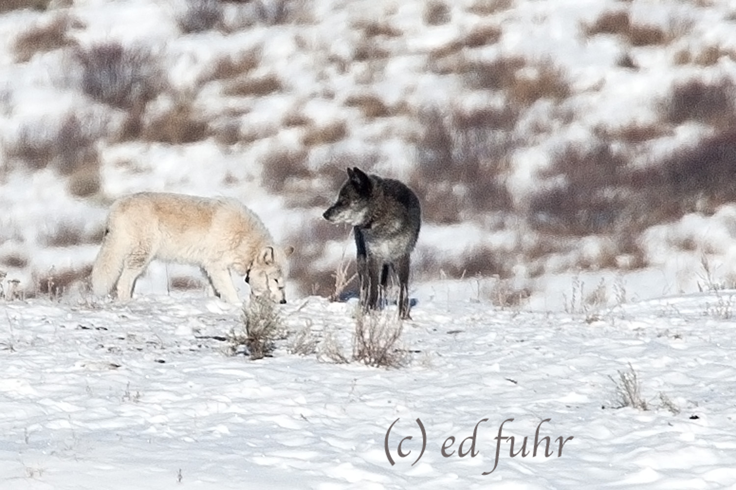 wolf, winter, snow, grand teton national park, photograph, image, wildlife, 2011, Tetons, Grand Teton, photo