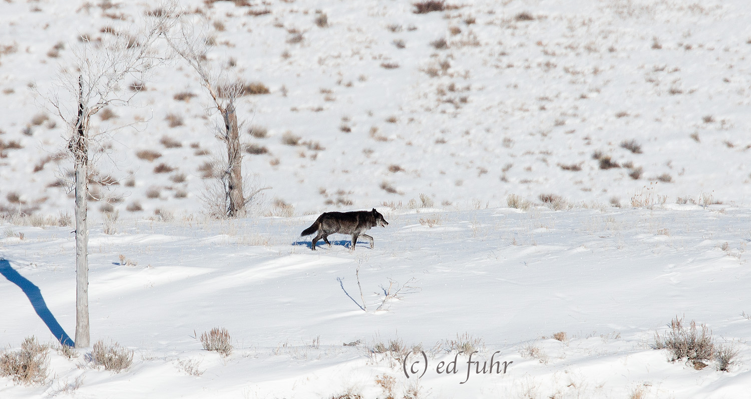 A wolf heads towards the butte where it will spend the day, high above the snowy meadows below.