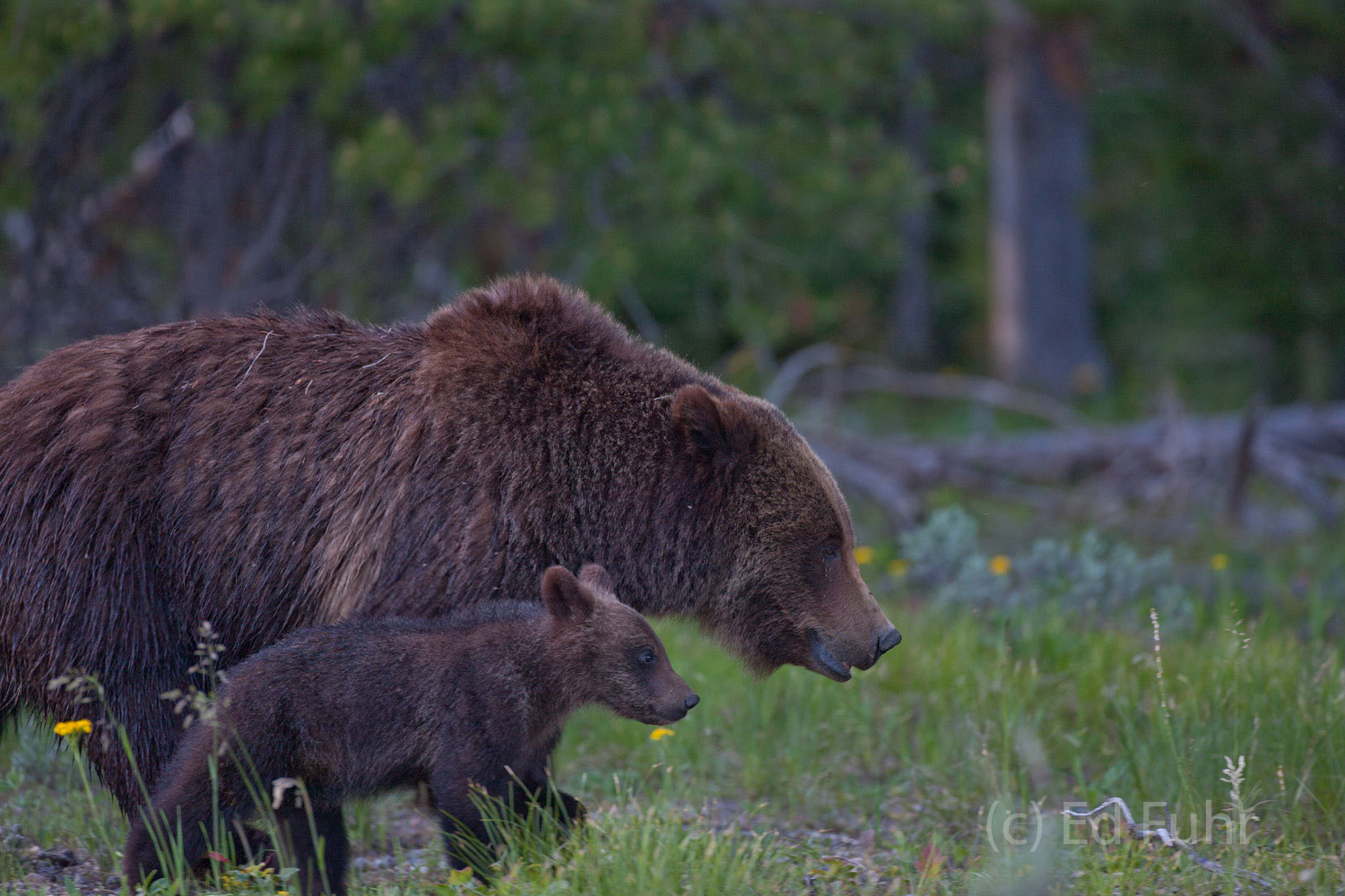 Grizzly 399 and one of her three cubs march slowly across a sage meadow.