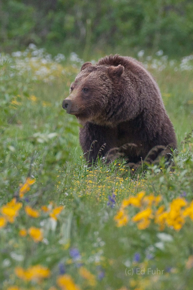 grand teton national park, 2011, grizzly bear, 399, photograph, image, summer, Tetons, Grand Teton, photo