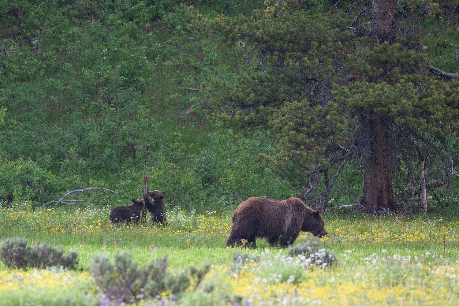 Two of grizzly 399's cubs explore a post as mom continues her unending search for food.