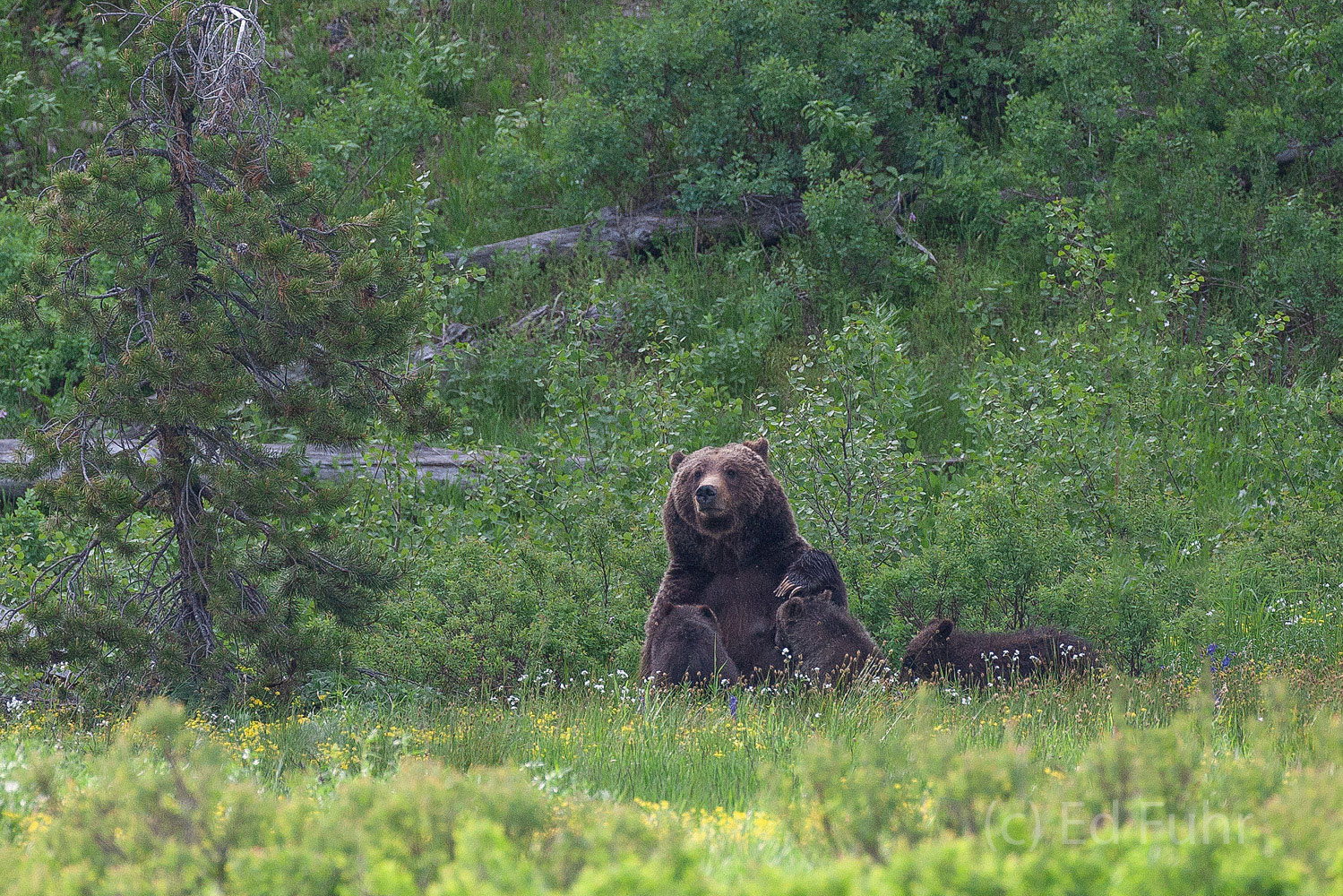grizzly bear, 399, cubs, grand teton, 2011, photograph, summer, photo