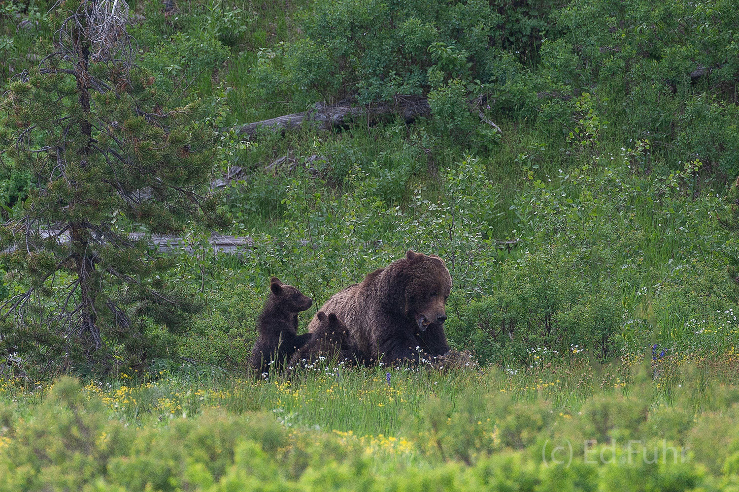 Grizzly moms, like 399, know the importance of administering swift and firm lessons to wayward cubs.