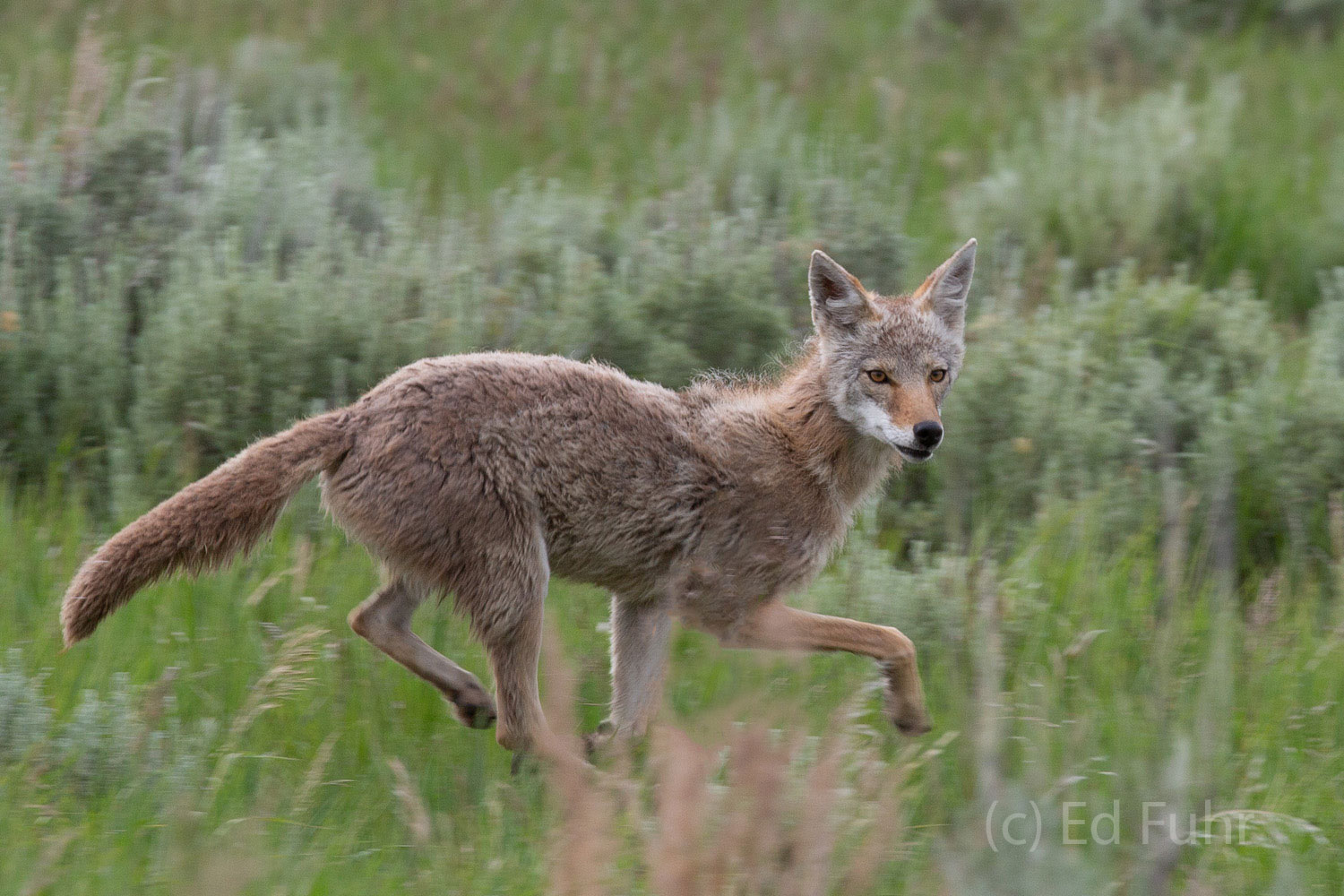 grand teton national park, coyote photograph, image, 2013, Tetons, Grand Teton, photo