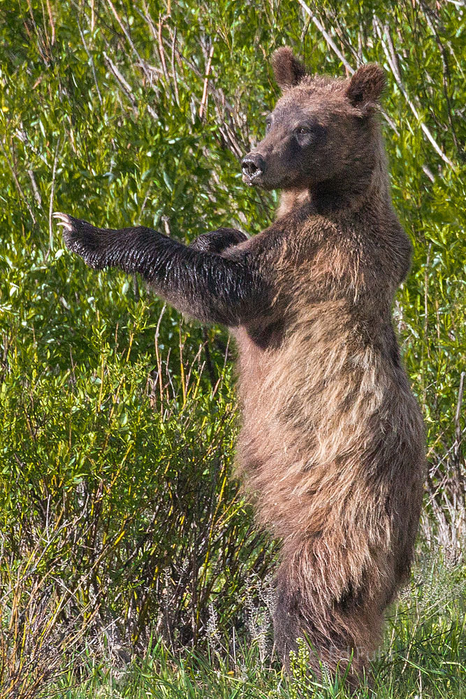 A grizzly cub of 610 stands in a meadow near willow flats and practices his moves.