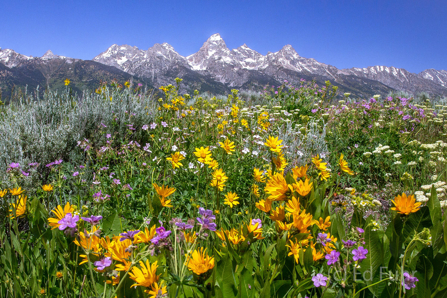 grand teton national park, wildflowers, photograph, image, 2013, Tetons, Grand Teton, photo