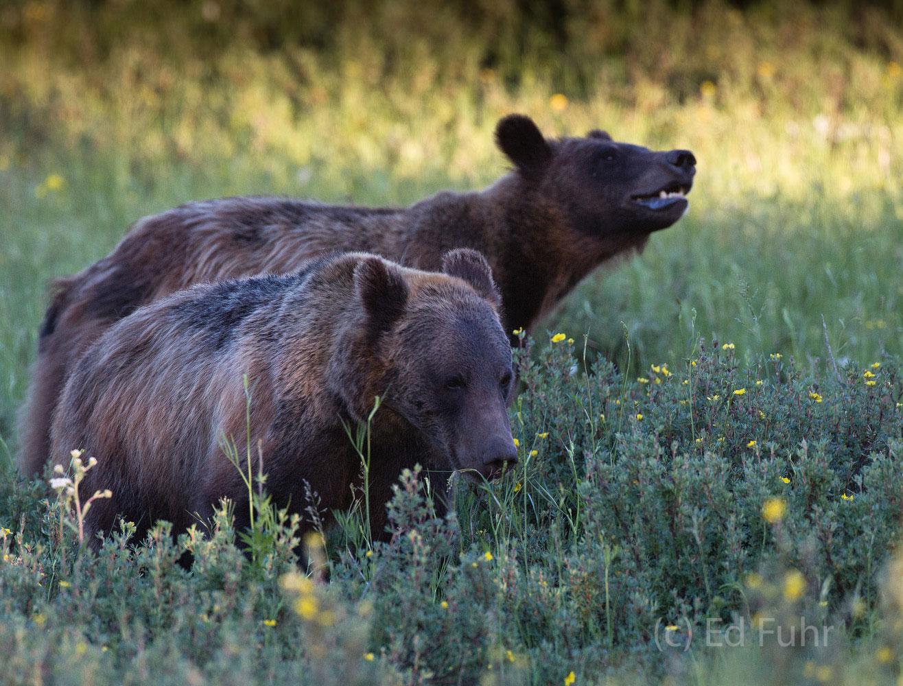 Grizzly's 610'ss two cubs forage on grasses and wildflowers, 2013.