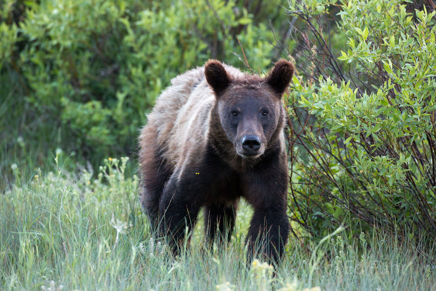 grand teton national park, grizzly bear, 610, cub, photograph, image, 2013, Tetons, Grand Teton, photo