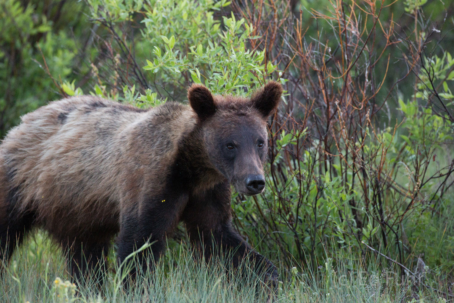 grand teton national park, grizzly bear, 610, cub, photograph, image, 2013, photo