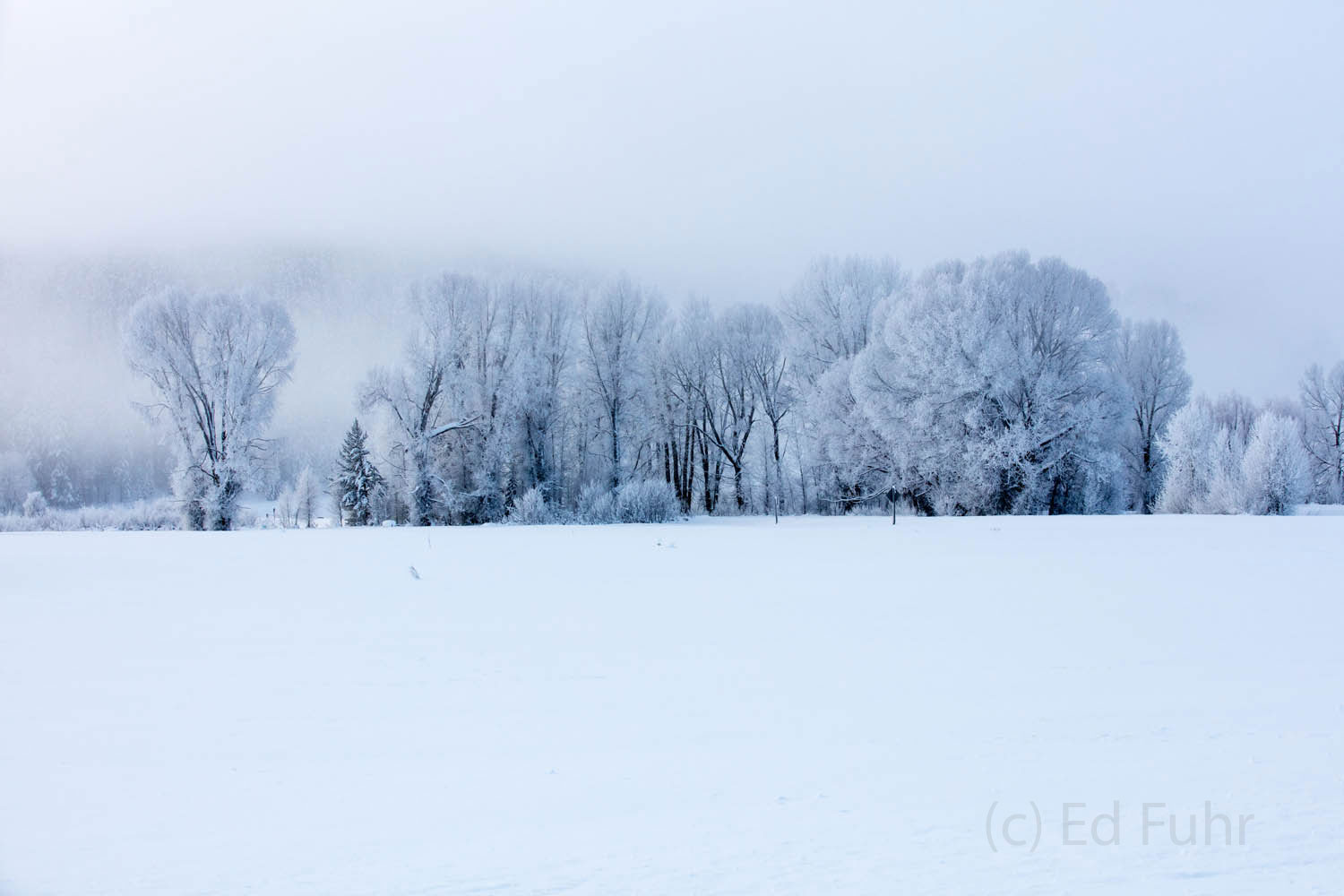 cottonwood, hoarfrost, winter, 2016, grand teton, photograph, photo