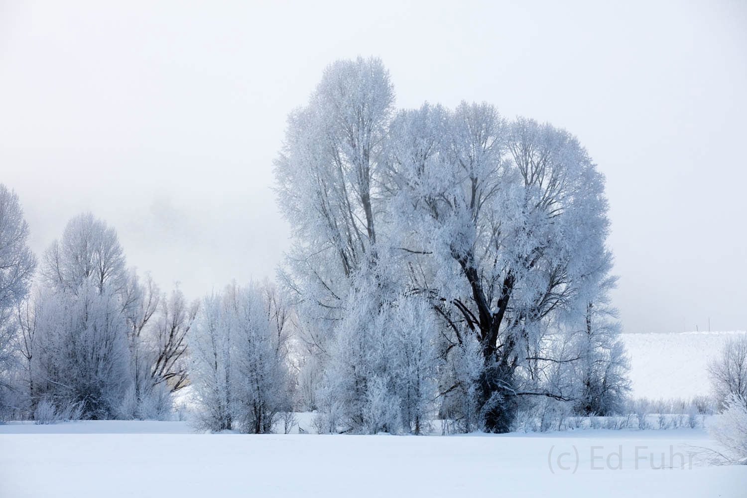 cottonwood, hoarfrost, photo