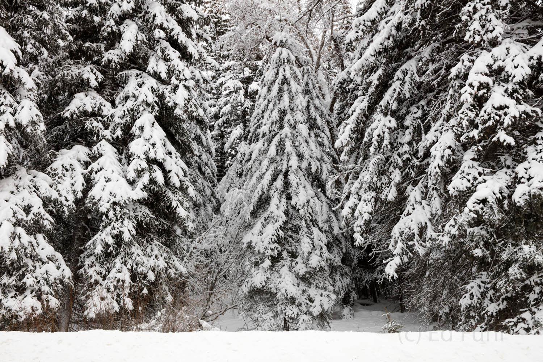 trees, winter, 2016, grand teton, photograph, Tetons, photo