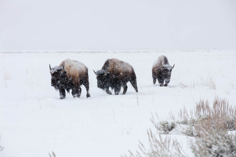 bison, photo