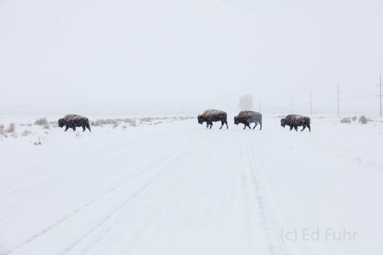 bison, winter, photo