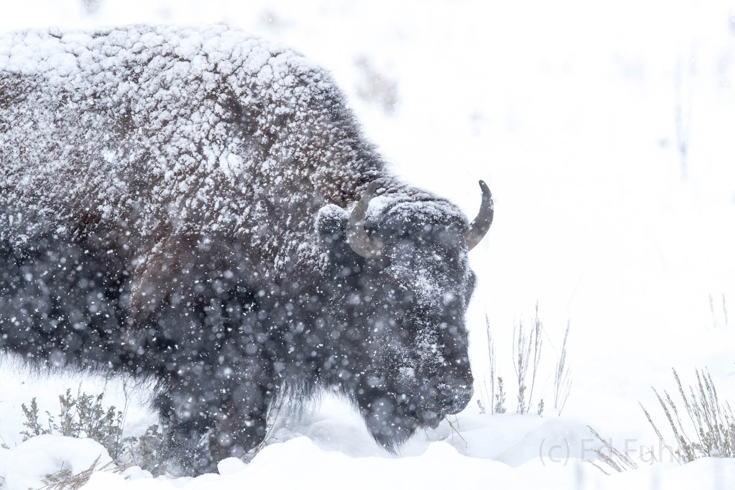 bison, snow, winter, photo
