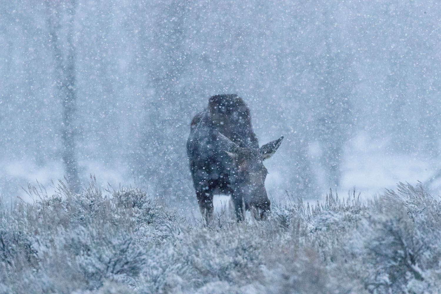 moose, winter, photo