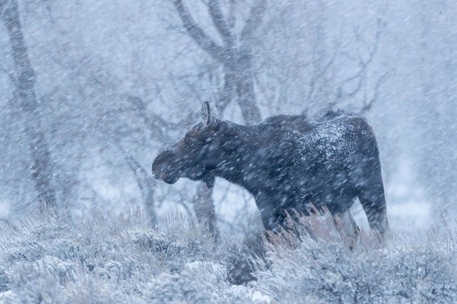 moose, winter, 2016, grand teton, photograph, Tetons, photo