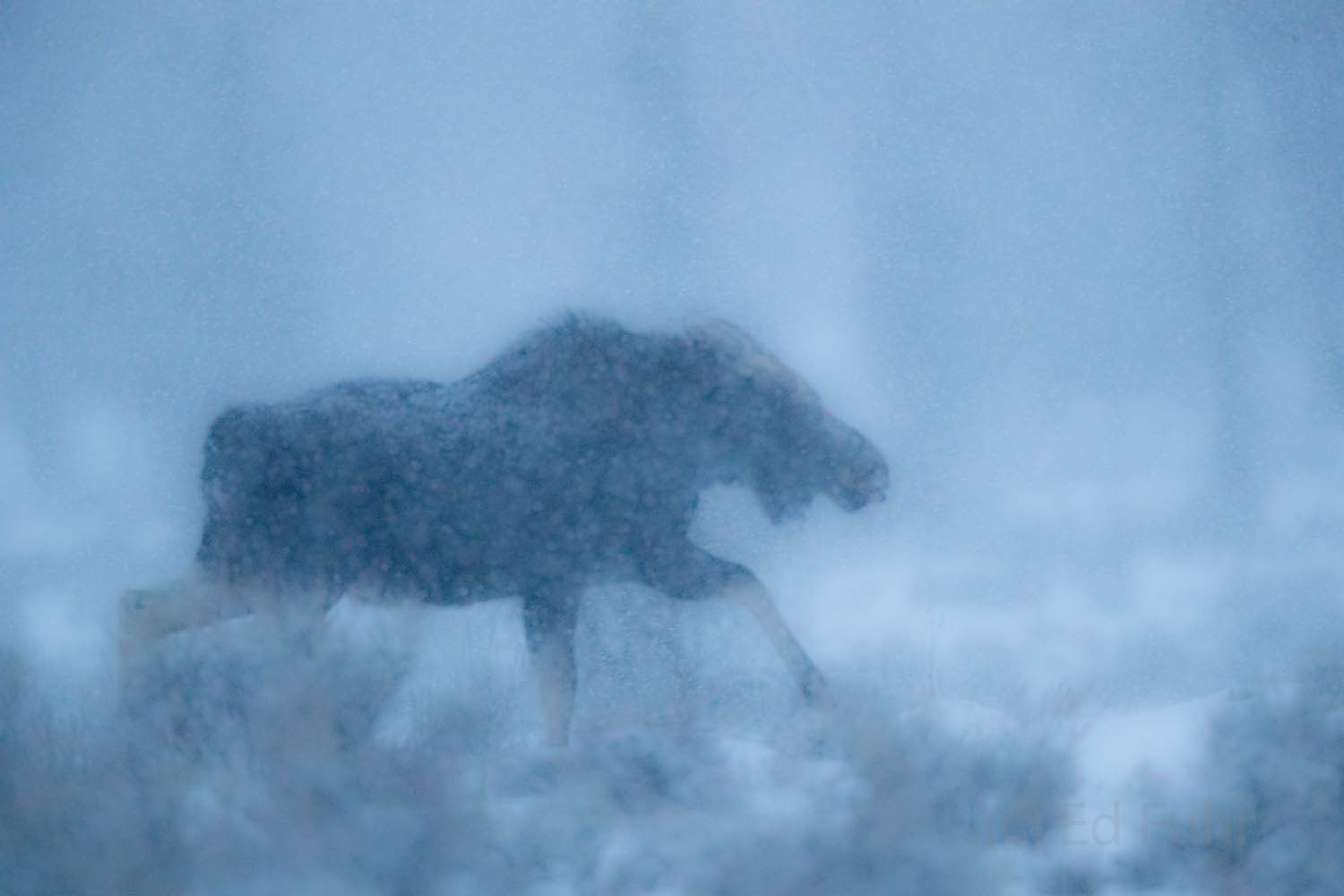 Moose  finally heads for cover in heavy winds and snow