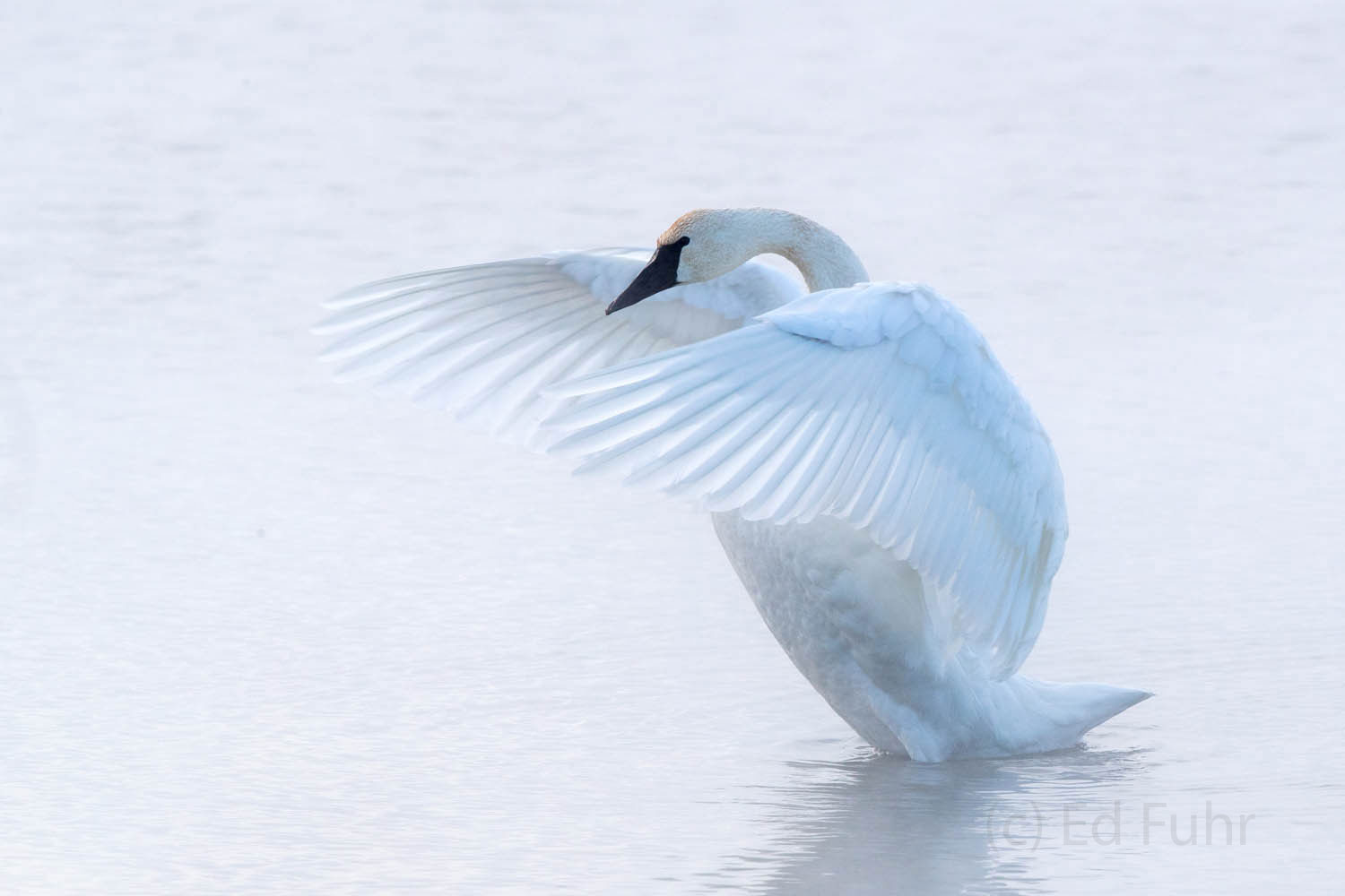 tundra swan, photo