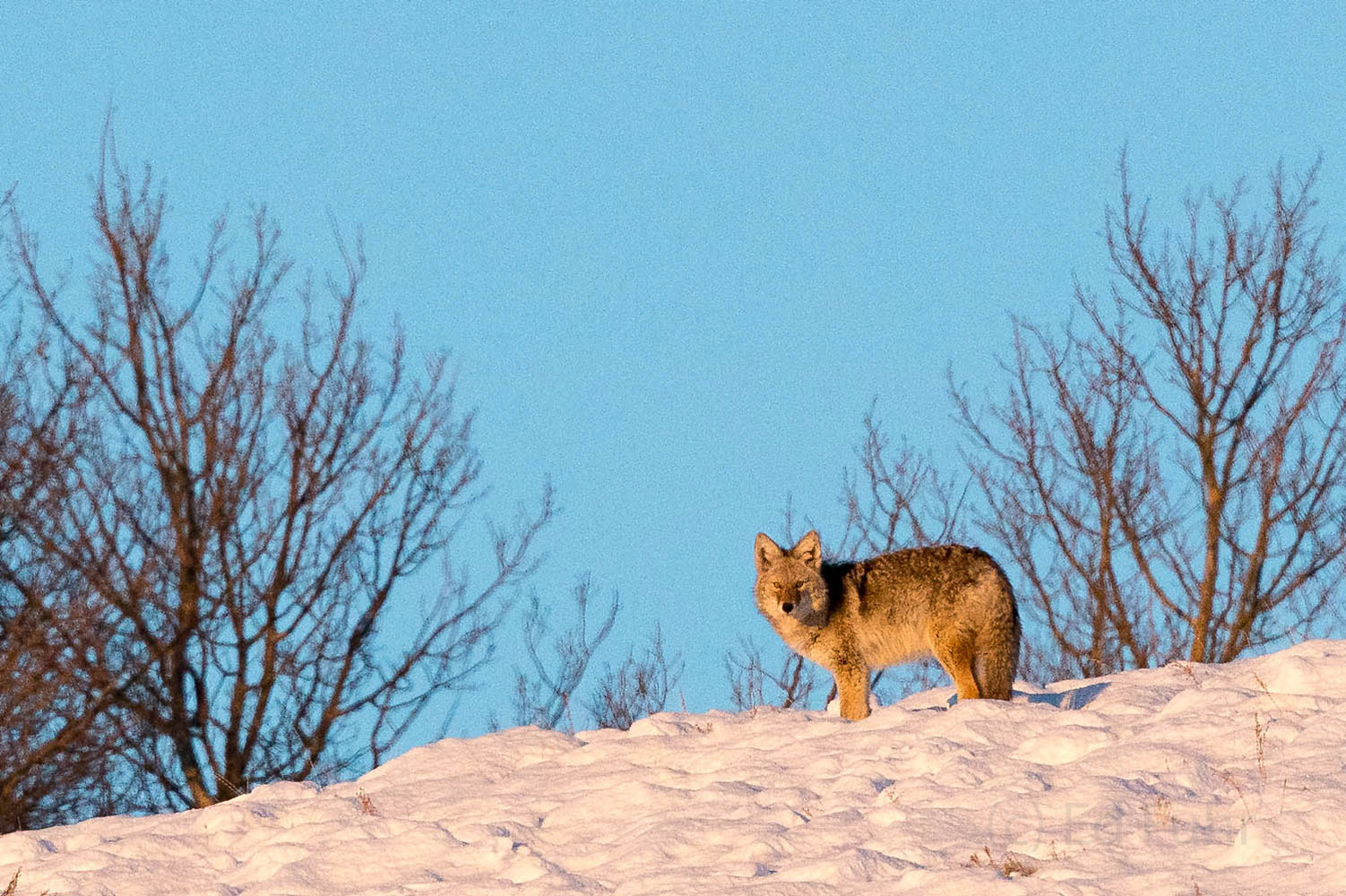 wolf, photo