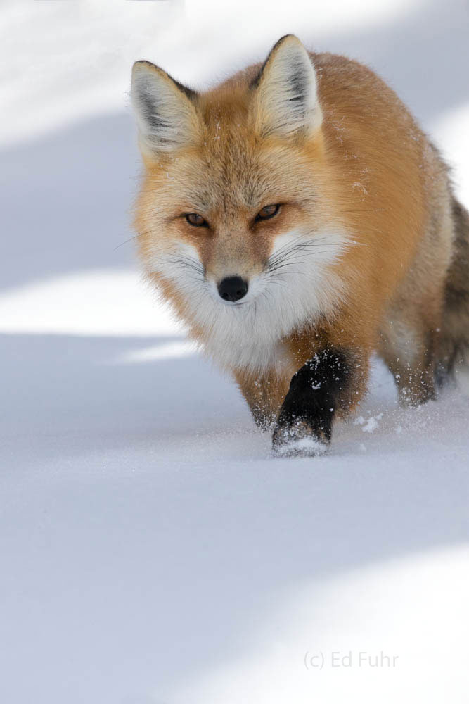 red fox, snow, photo