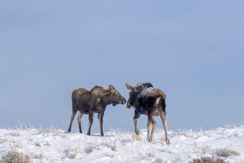 moose, calf, photo