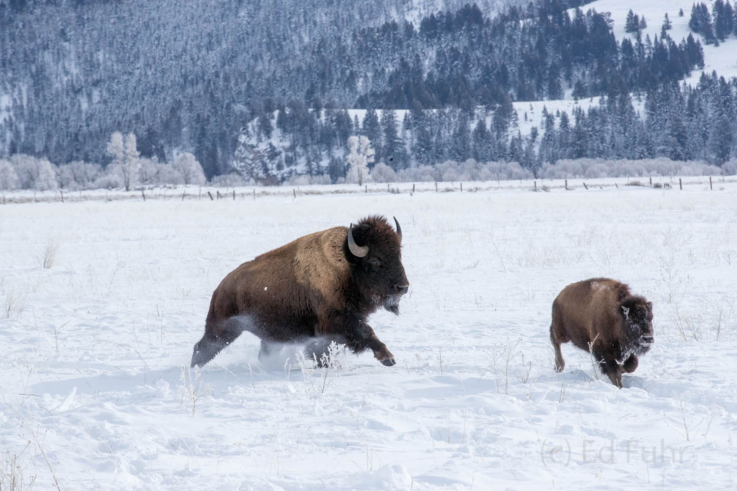 bison, calf, photo