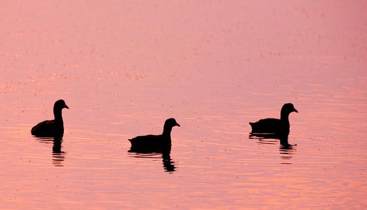 coots, egret pond, kiawah, photo