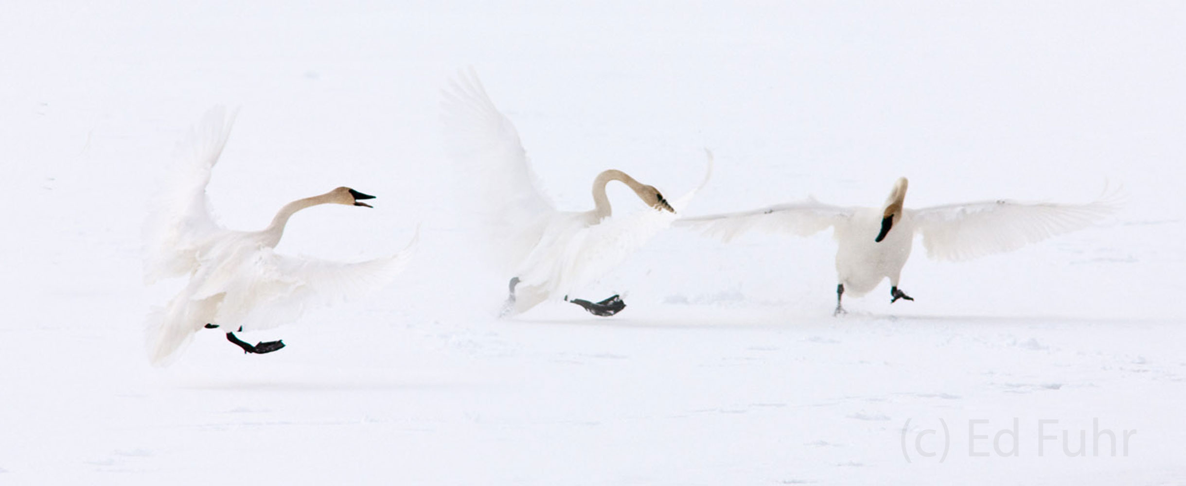 jackson hole, tundra swans, grand tetons, photo