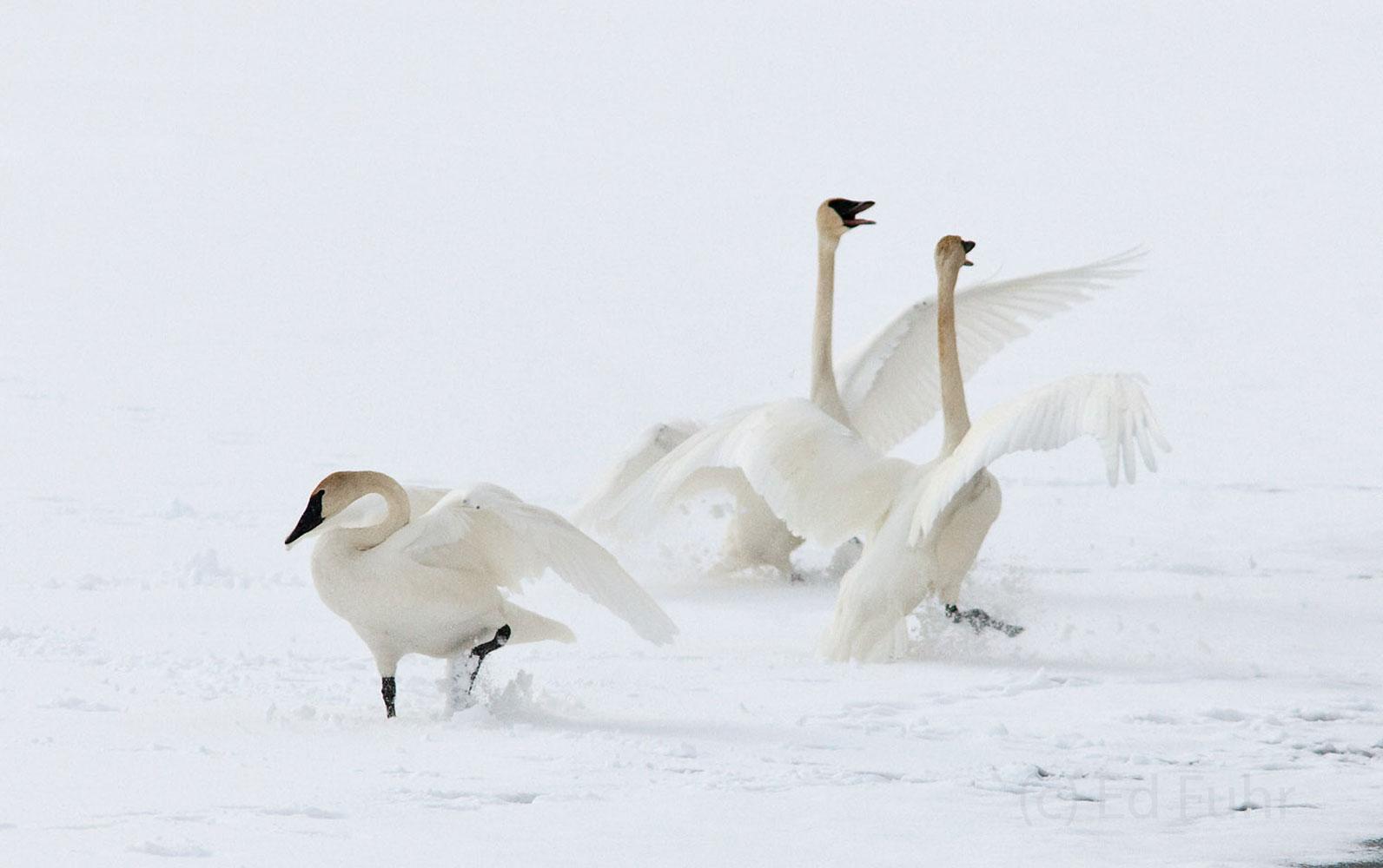 tundra swans, grand tetons, , photo