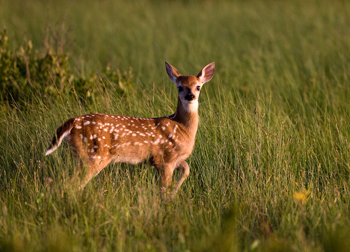 shenandoah, deer, photo