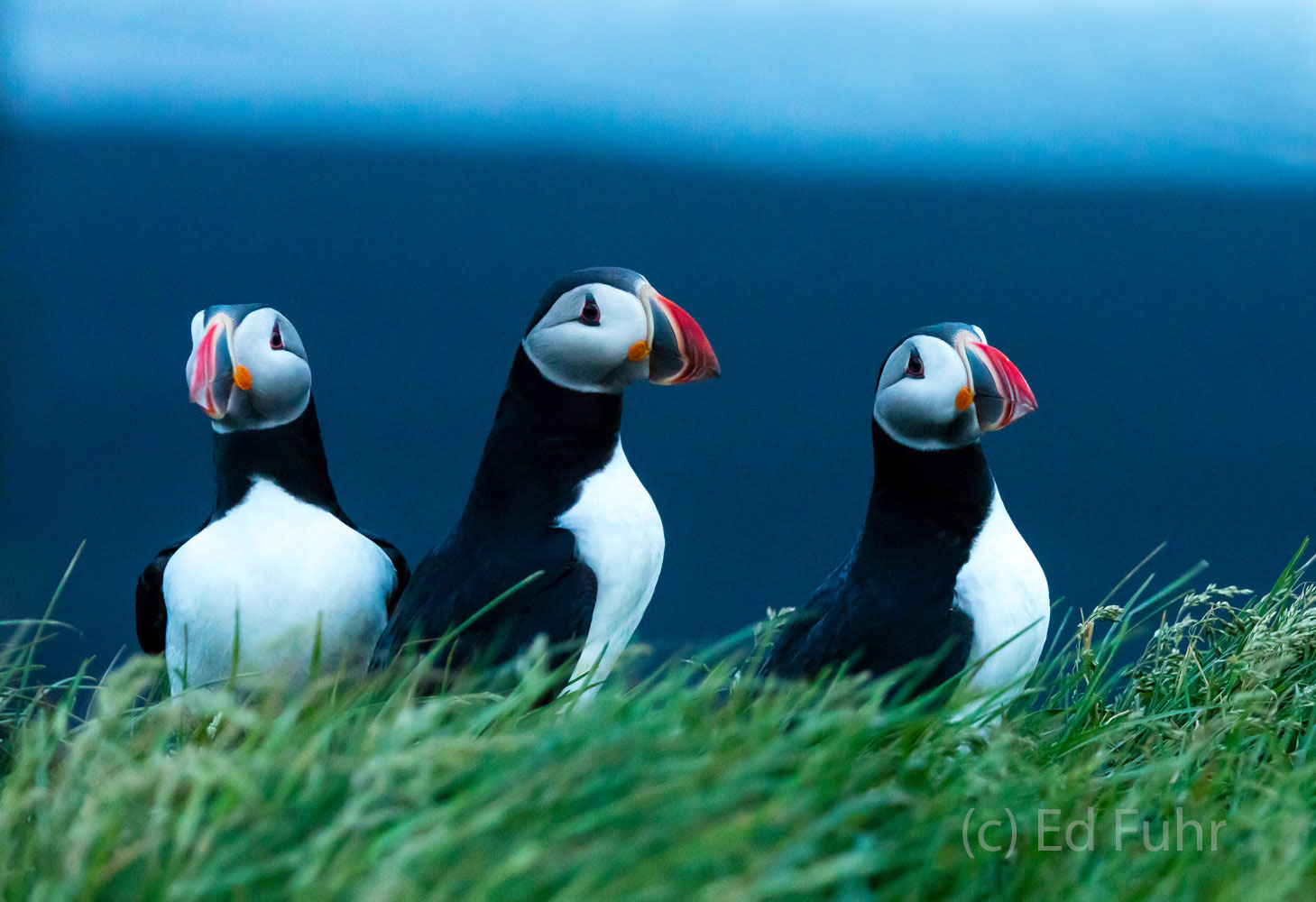 During midsummer, puffins return to the cliffs high above the ocean in Reynisfjara or black sand beach, often raising families...