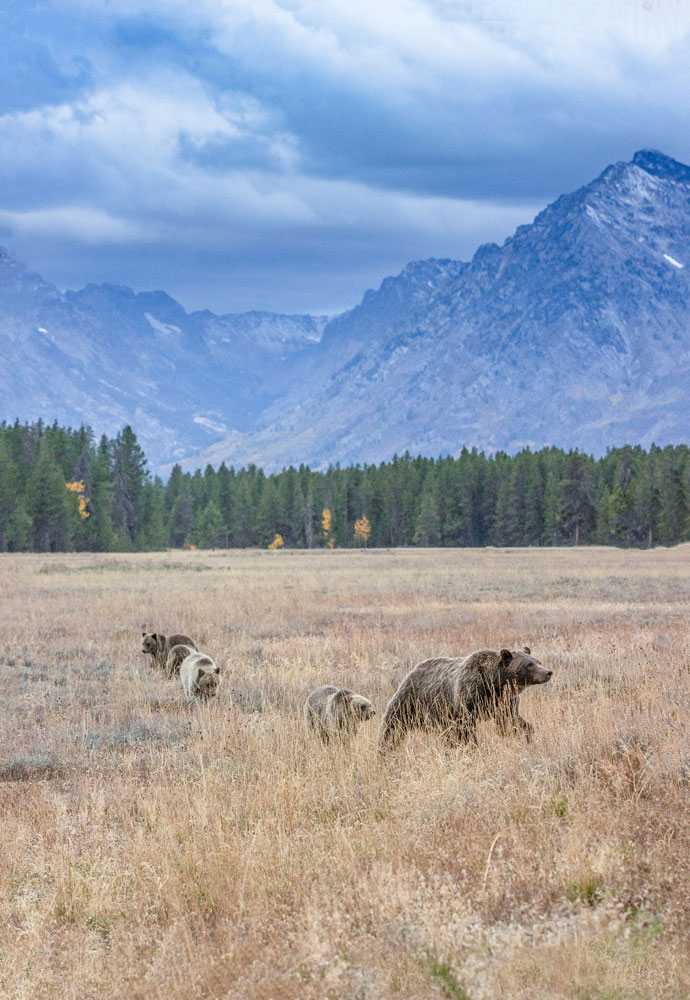 399 and cubs, Grand Teton, Tetons, 2020, fall, grizzly, bear, photo
