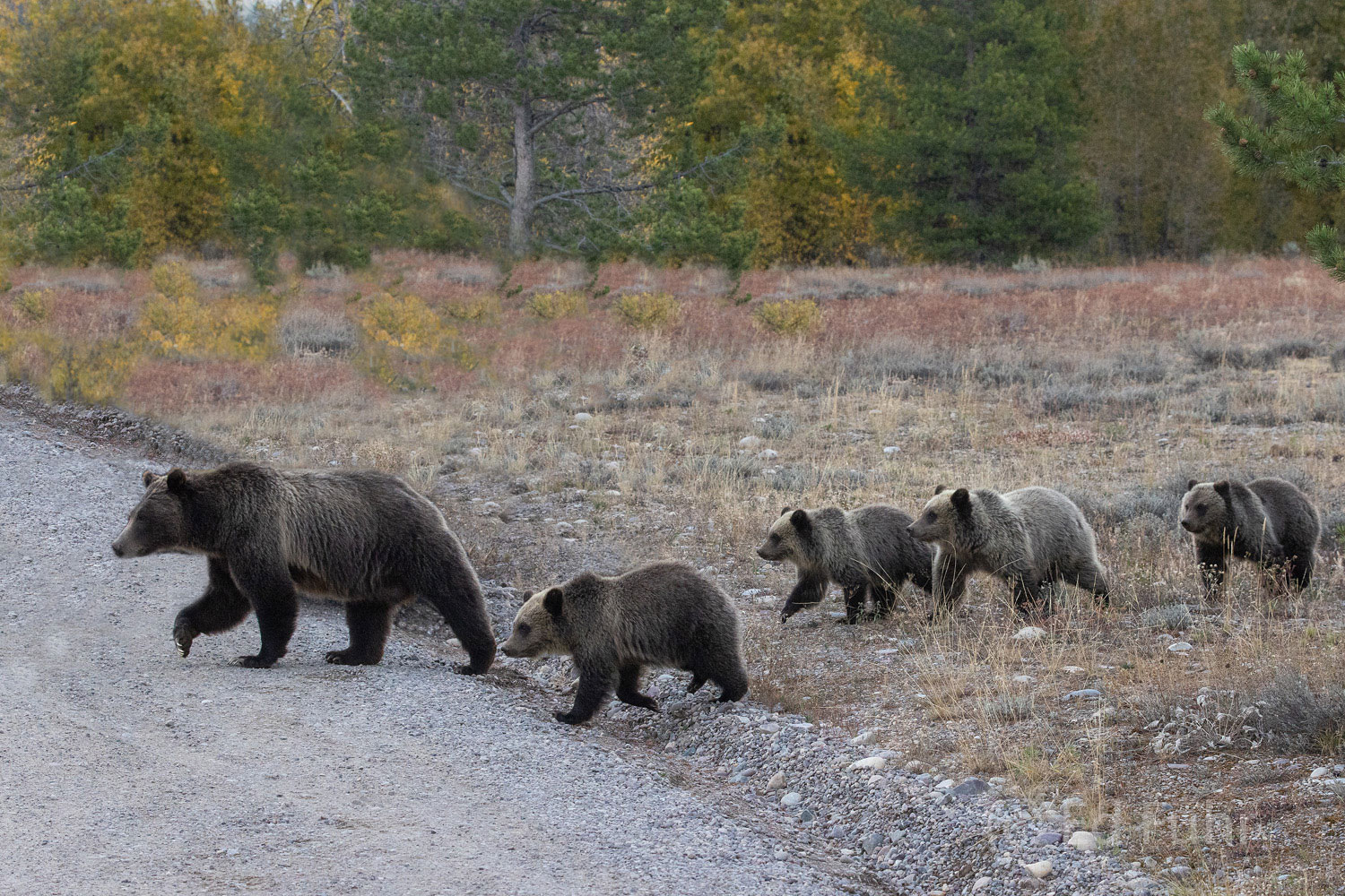 Grizzly 399 and her four cubs cross Pilgrim road.  Over the summer months 399 has led her cubs in a never ending search for food...