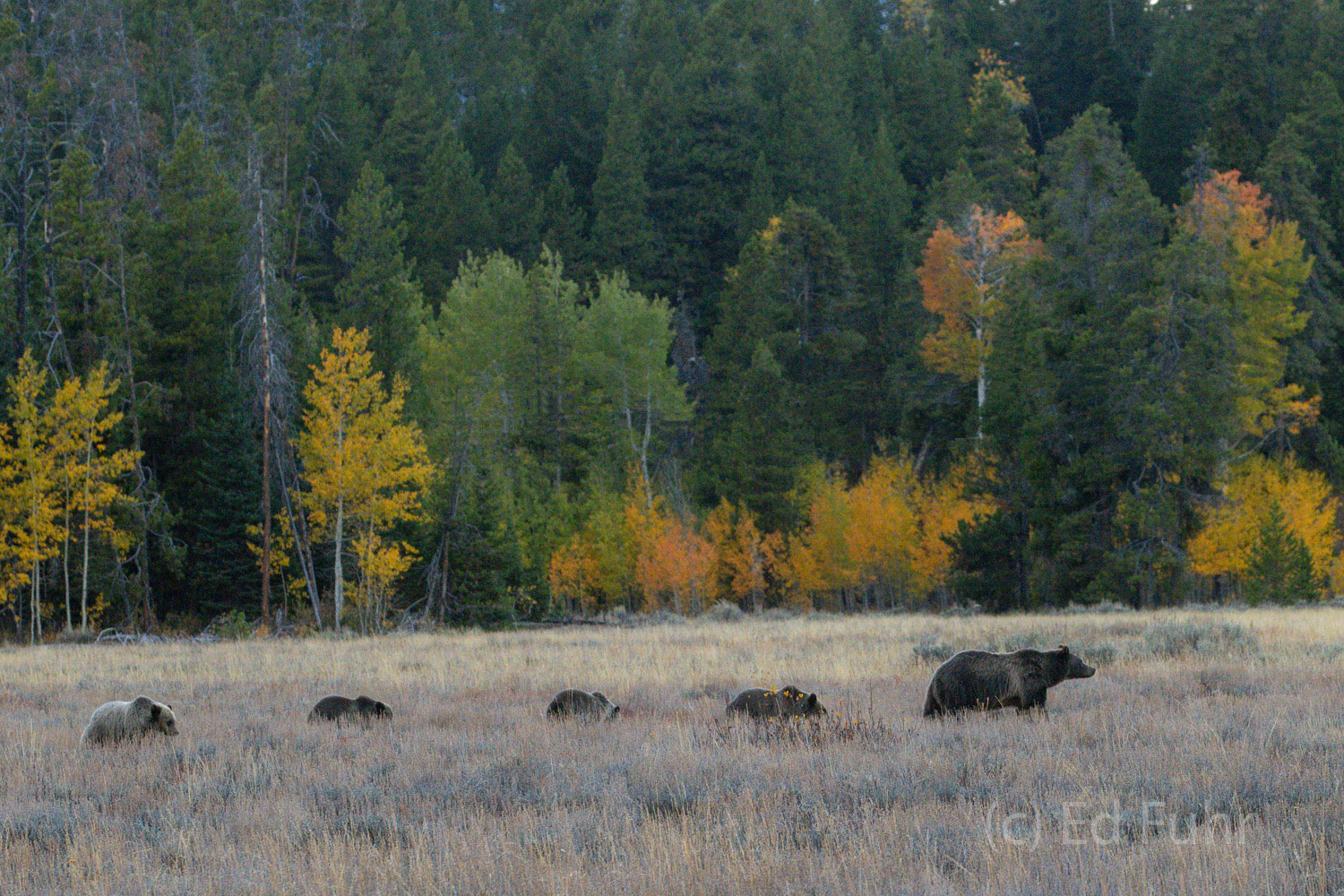 Against an autumn backdrop, grizzly 399 leads her parade, with four rapidly growing cubs dutifully in line.