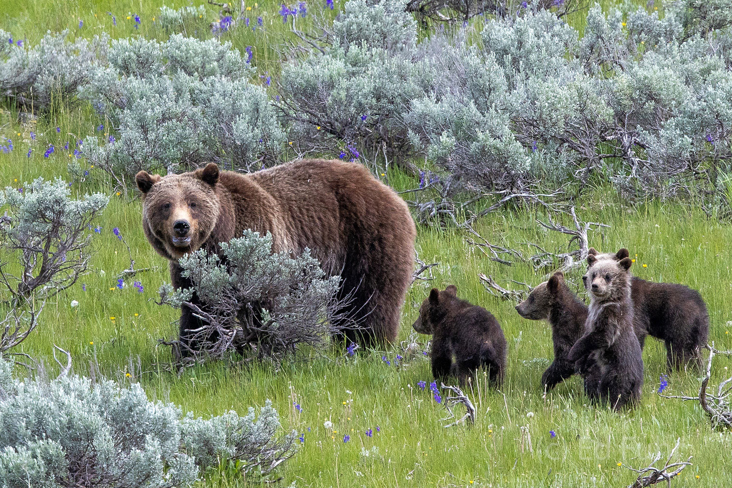 Grizzly 399 and her quad cubs search for food in the sage meadow below.