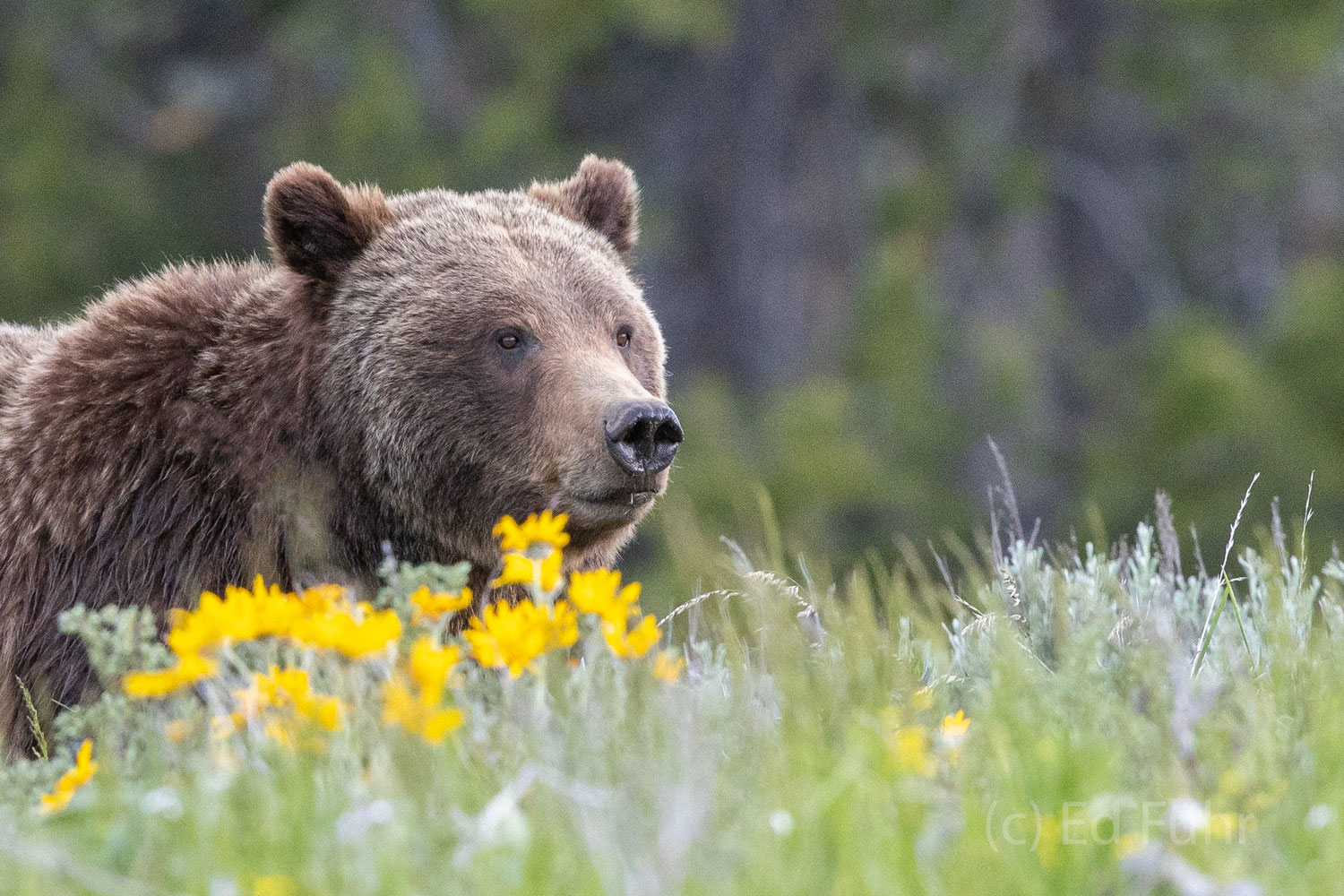 Grizzly 399 peers through summer's wildflowers.
