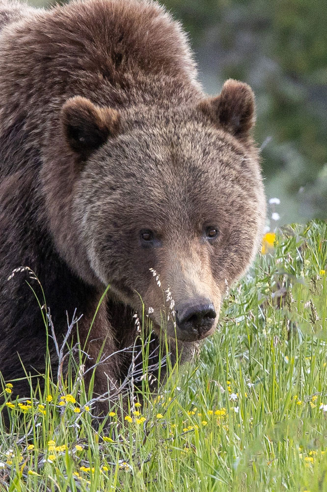 399, grizzly, 610, subadult, grizzlies, cub, quad, summer, grand teton, , Tetons, photo