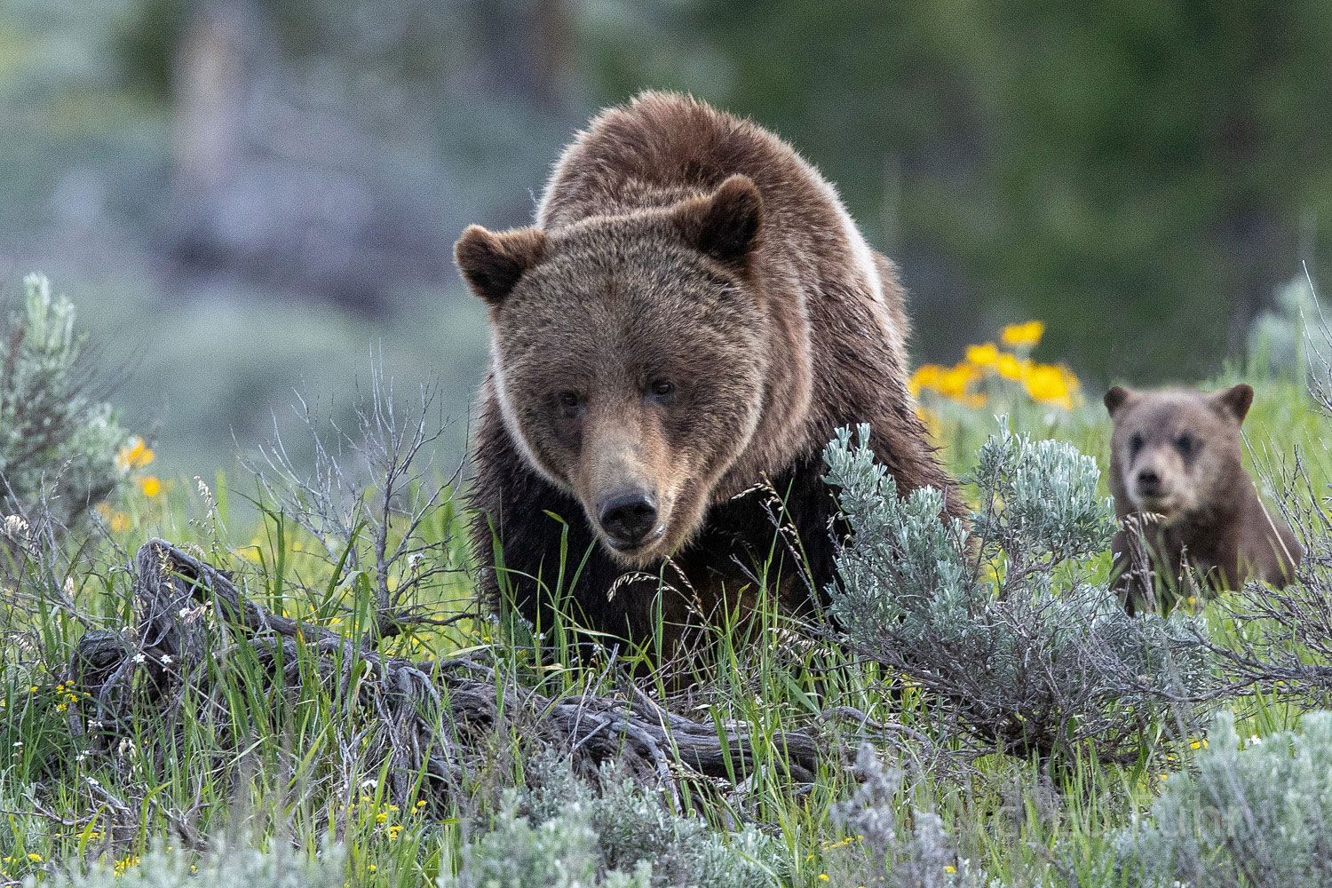 Grizzly 399 and one of her cubs make their way through the sage.