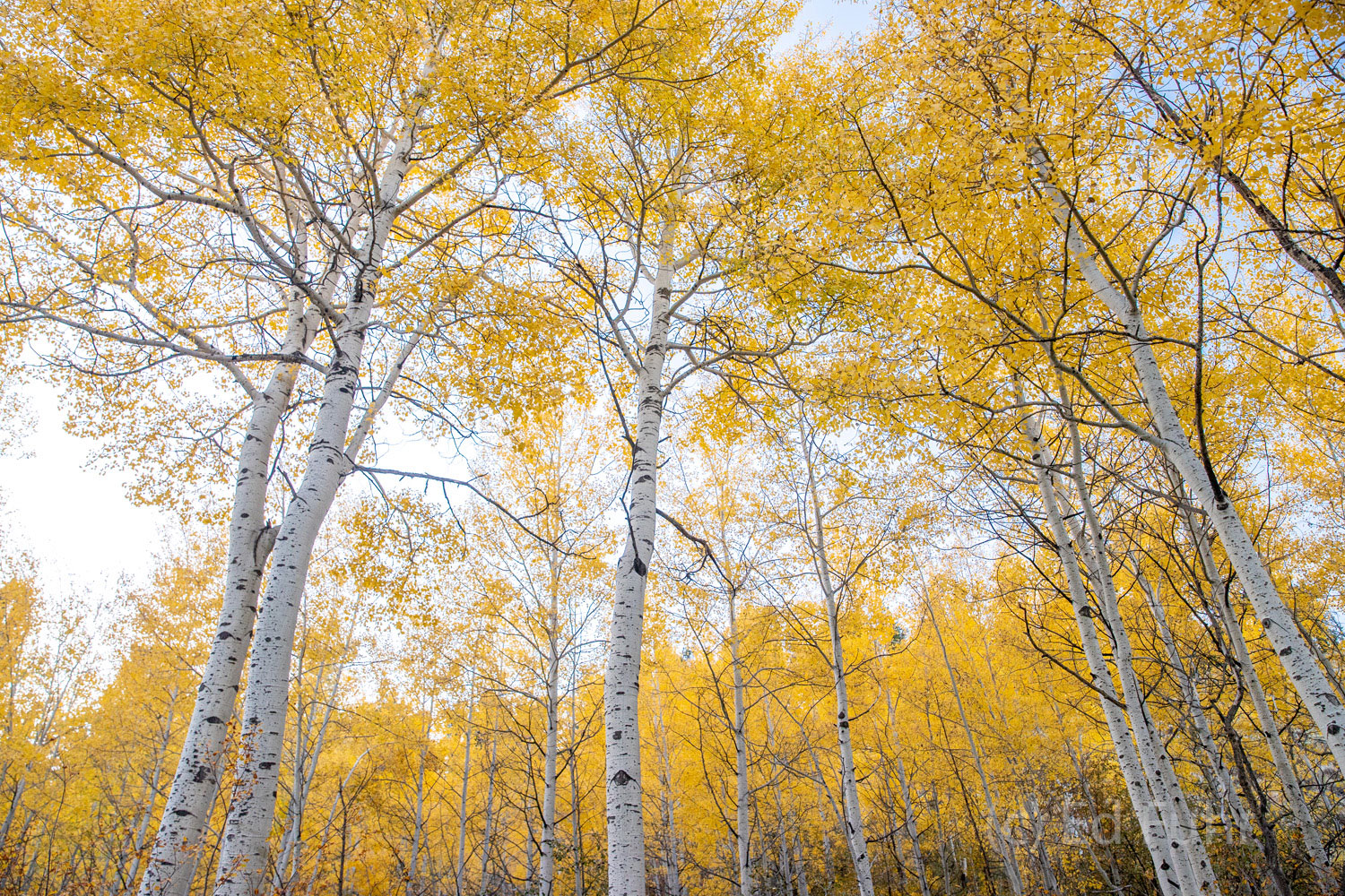 A grove of aspen along Moose Wilson Road towers above.