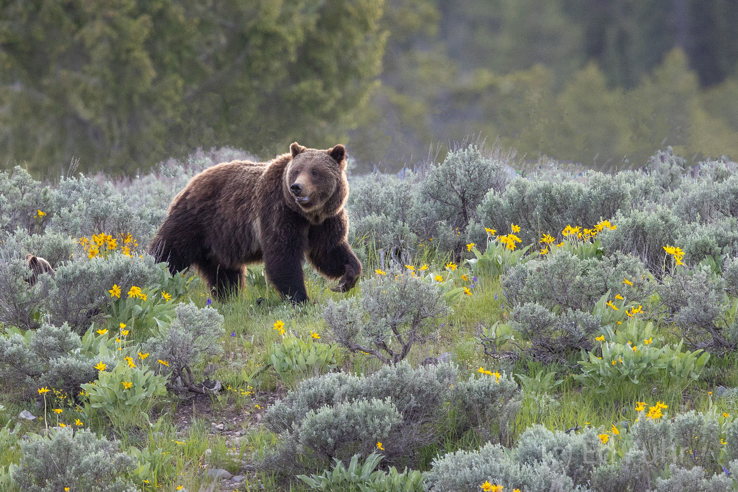 Grizzly 399 strides across the ridge.  On some days she and her young cubs will travel more than 10 miles.