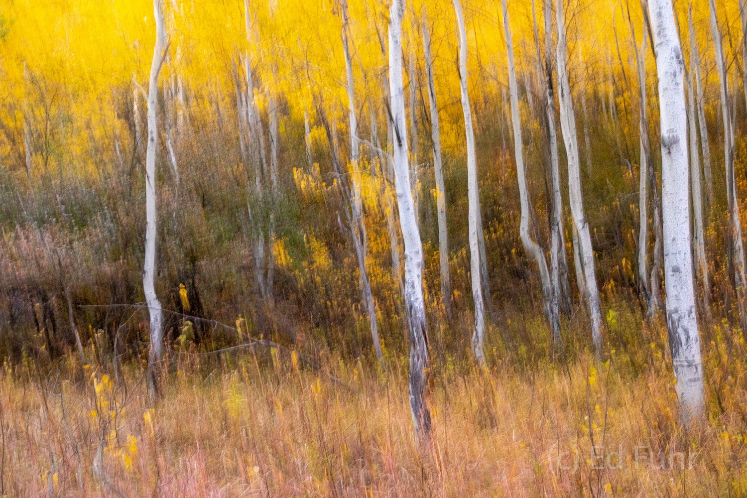 Abstracts and Patterns, autumn, fall, foliage, aspen, pattern, yellow, grand teton, tetons, photograph, photo