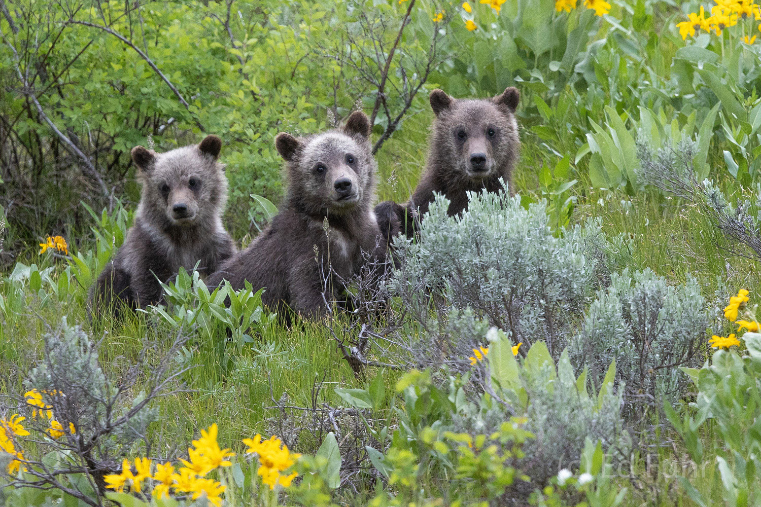 399 cub, grizzly, 399, 610, subadult, grizzlies, cub, quad, summer, grand teton, , Tetons, photo