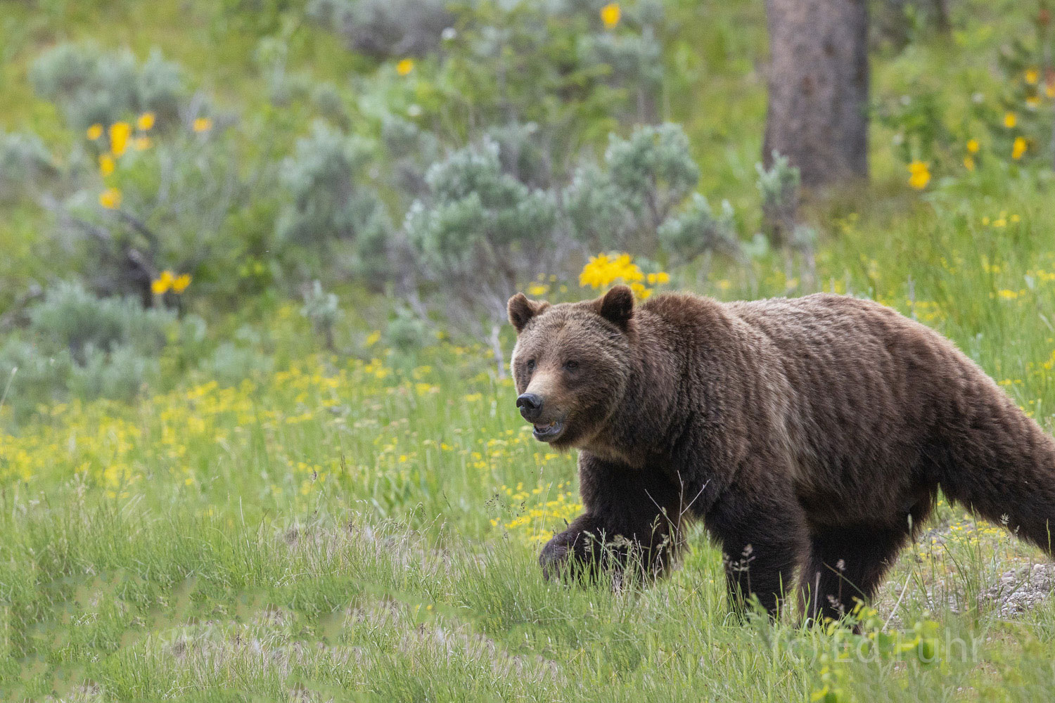 Grizzly 399 cuts an imposing figure.