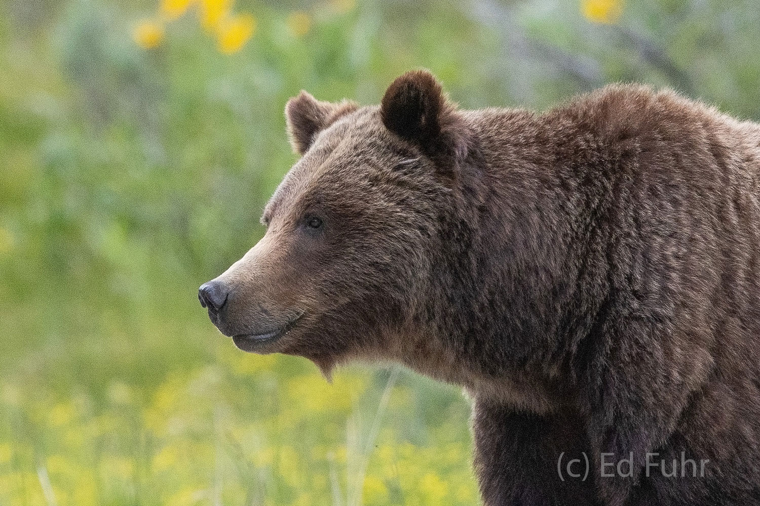 Grizzly 399 is both beautiful and also incredibly savage.  During the spring and early summer, she often kills multiple young...