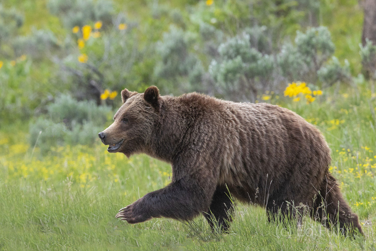 Grizzly 399, now some 24 years old and the grand matriarch of the Grand Tetons, is undoubtedly the most famous grizzly bear in...