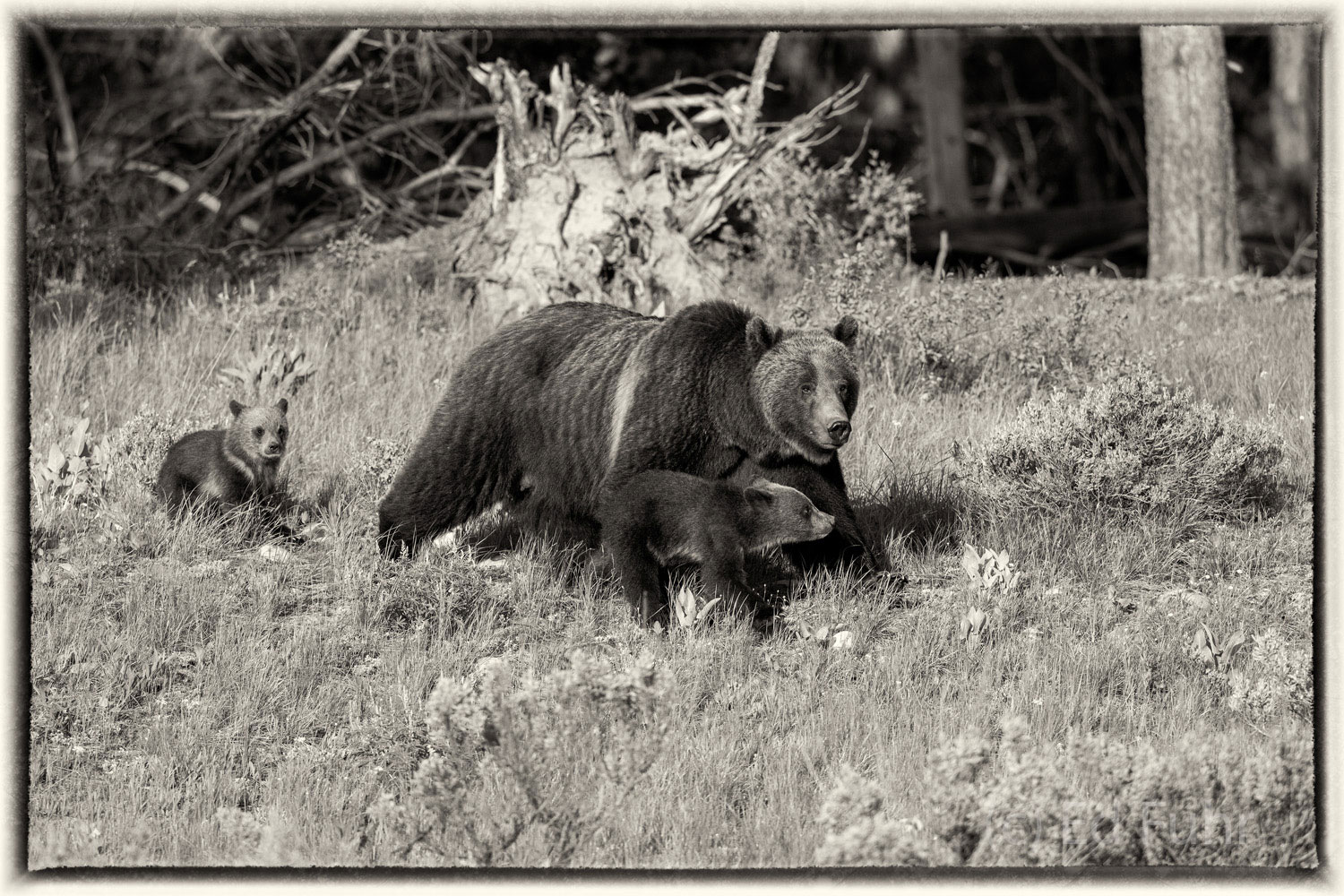 The grizzly bear is perhaps the greatest symbol of our wild west and for the time being has found new protection against hunting...